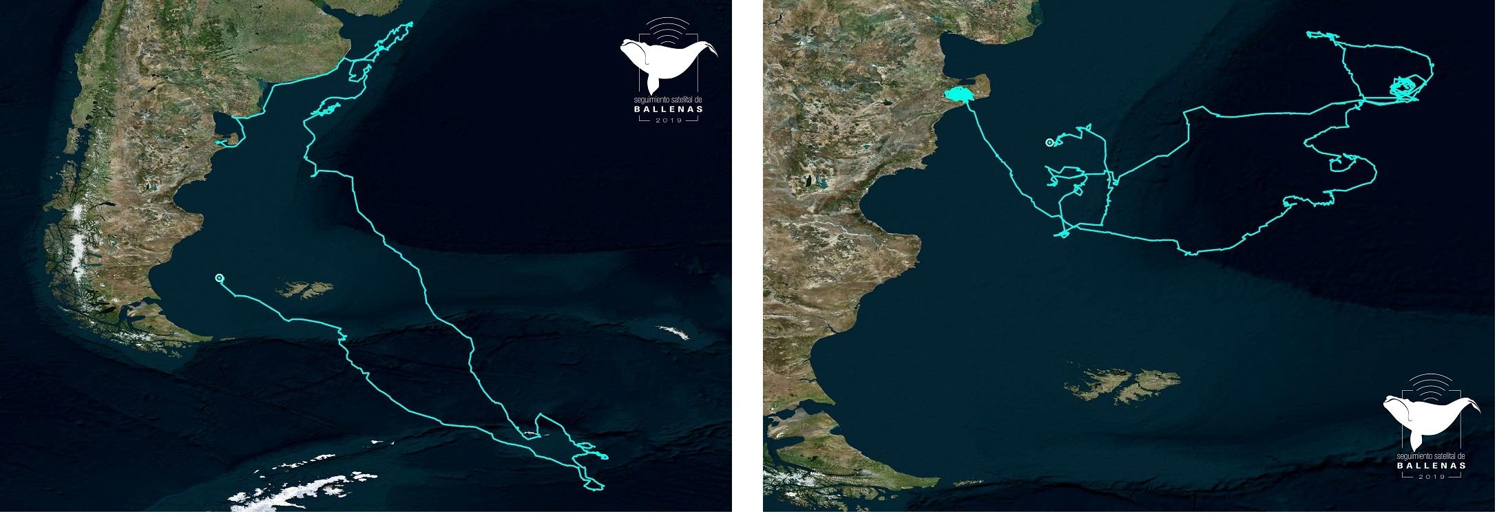 Culmina Con Exito El Seguimiento Satelital De 23 Ballenas Francas En El Atlantico Sur Wcs Argentina